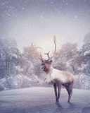 Reindeer. Standing in the snow Stock Images