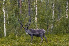 Reindeer standing in the forest Stock Photo