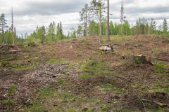 Reindeer staying in a deforestation area Royalty Free Stock Image