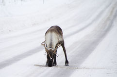 Reindeer on the street Royalty Free Stock Images