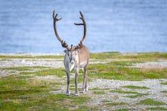 Reindeer in summer in arctic Norway. Reindeer in summer in arctic, Finnmark in Norway royalty free stock image