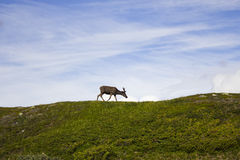 Reindeer in summer arctic Stock Photo