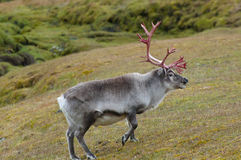 Reindeer - Svalbard - Norway royalty free stock images