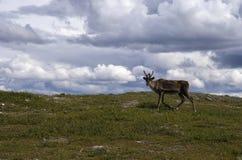 Reindeer in Sweden Royalty Free Stock Photo