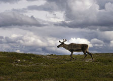 Reindeer in Sweden Stock Images