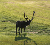 Reindeer on swedish fjeld Royalty Free Stock Images