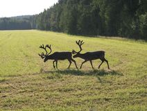 Reindeer on swedish fjeld Stock Photography