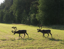 Reindeer on swedish fjeld Stock Photo