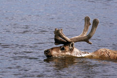 Reindeer, Taimyr, Siberia, Russia, Caribou Stock Image