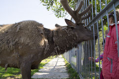 Reindeer talking to zoo visitors Stock Image