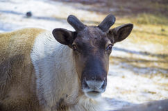 Reindeer took off the horns. Stock Image
