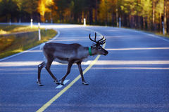Reindeer in traffic. Reindeer on road, without vehicles, autumn, Lapland royalty free stock photos