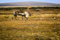 Reindeer on tundra. Reindeer in tundra of Sweden on sunny day Stock Photo