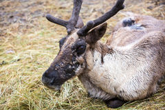Reindeer with Velvet Layer on Antlers Stock Photo