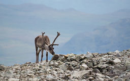 Reindeer view Royalty Free Stock Photo