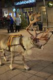 Reindeer visiting on Main Street Royalty Free Stock Image