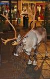 Reindeer visiting on Main street Stock Photo