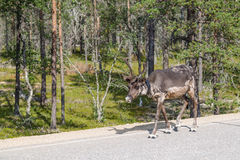 Reindeer walking along the road in Finland Stock Photography