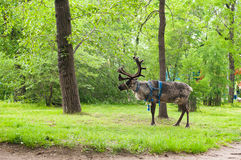 Reindeer walking in a green Park Royalty Free Stock Photos