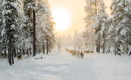 Reindeer walking on the line Stock Photography