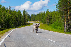 Reindeer walking on main road. In Lapland, Finland Stock Photo
