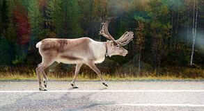 Reindeer. A reindeer walking on the road Royalty Free Stock Photos
