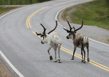 Reindeer Walking in Road Royalty Free Stock Images