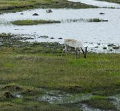 Reindeer and the water Royalty Free Stock Photo
