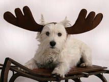 Reindeer Westie. West Highland Terrier wearing reindeer antlers and sitting on antique snow sled Royalty Free Stock Photos