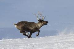 Reindeer which runs on snow-covered tundra Stock Photo