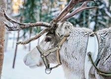 Reindeer in winter forest in Finnish Lapland. Reindeer in winter forest in Rovaniemi, Finnish Lapland Stock Photo