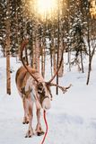 Reindeer at winter forest in Finnish Lapland. Reindeer at winter forest in Rovaniemi, Finnish Lapland Royalty Free Stock Images