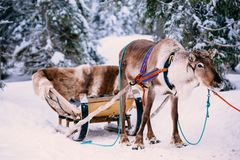 Reindeer in a winter forest in Lapland. Finland. Reindeer in a snow winter forest in Lapland. Finland royalty free stock image