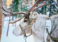 Reindeer at Winter Forest in Rovaniemi Lapland Finland. Rovaniemi, Finland - March 4, 2017: Reindeer at Winter Snow Forest at Finnish Saami Farm in Rovaniemi royalty free stock photography
