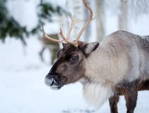 Reindeer in a winter landscape Stock Photo