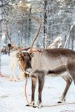 Reindeer in winter, Lapland Finland. Reindeer in winter, Lapland, Finland stock photos