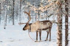 Reindeer in winter, Lapland Finland. Reindeer in winter, Lapland, Finland royalty free stock image