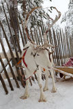 Reindeer in winter at the polar circle. Stock Image