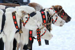Reindeer in the winter Royalty Free Stock Photos