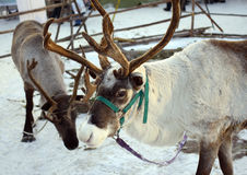 Reindeer in winter Royalty Free Stock Photography
