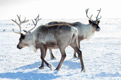 Reindeer in winter tundra. Reindeer grazing in the tundra during winter Royalty Free Stock Photos