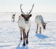 Reindeer in winter tundra. Reindeer grazing in the tundra during winter Royalty Free Stock Photo