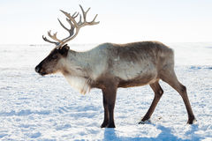 Reindeer in winter tundra. Reindeer grazing in the tundra during winter Royalty Free Stock Image