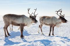 Reindeer in winter tundra Royalty Free Stock Photo