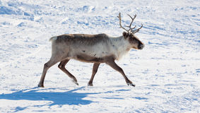 Reindeer in winter tundra Royalty Free Stock Image