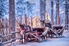 Free Reindeer With Sledge In Winter Forest In Rovaniemi, Lapland, Finland Stock Image - 163384991