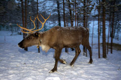 Reindeer are in the woods during the polar night Royalty Free Stock Image