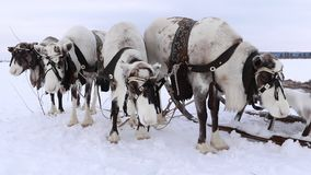 Reindeer on the Yamal Peninsula stock video
