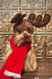 Reindeer yorkshire terrier dog Royalty Free Stock Photography