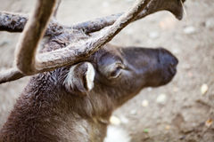Reindeer at the zoo Stock Photo